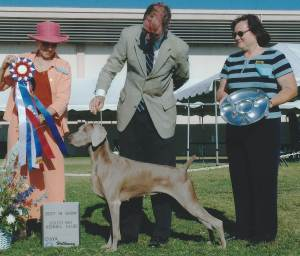BEST IN SHOW Group 1, Sporting CH K-Line Smokeycity N' Style  Weimaraner