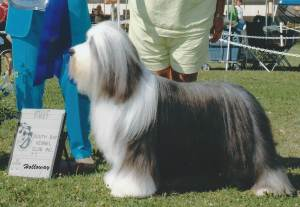 Group 1, Herding CH Britannia Blockbuster  Bearded Collie