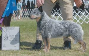 Group 1, Herding CH Reddenblu's Look Again  Australian Cattle Dog