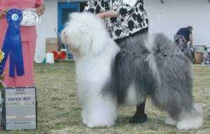 Herding Group GCH CH Cottonwood Man In The Moon  Old English Sheepdog
