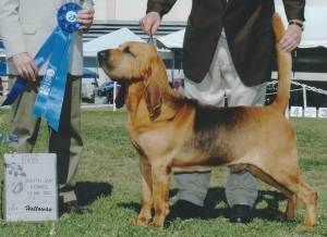 Group 1, Hound CH Quiet Creek's Stand By Me  Bloodhound