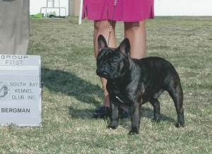 Group 1, Non-Sporting GCH CH Lefox Born To Boogie  French Bulldog