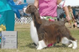 "Group 1, Sporting CH Tara's Master Of ""D"" Game  English Springer Spaniel"
