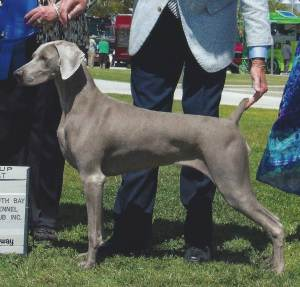 Group 1, Sporting GCH CH Simpatico Equal Justice  Weimaraner