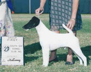 Group 1, Terrier CH Broxden Rio Oso Best Dressed  Smooth Fox Terrier