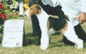 Group 1, Terrier CH Saredon The Seductress  Wire Fox Terrier