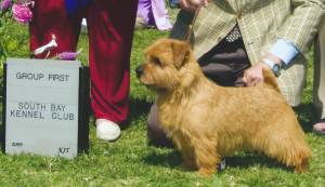 Group 1, Terrier CH Jaeva Gold Auric  Norfolk Terrier