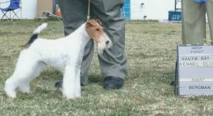 Group 1, Terrier GCH CH Steele Your Heart  Wire Fox Terrier