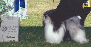 Group 1, Toy CH Shaggyluv's Captain Jack  Havanese