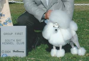 Group 1, Toy CH North Well Chako JP Platina King  Toy Poodle