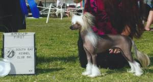 Group 1, Toy CH Gotcha Under My Skin At Rompford  Chinese Crested
