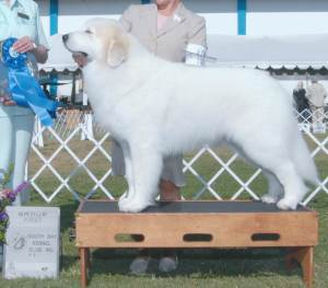 Group 1, Working CH Honor's Promise Of Glory  Great Pyrenees