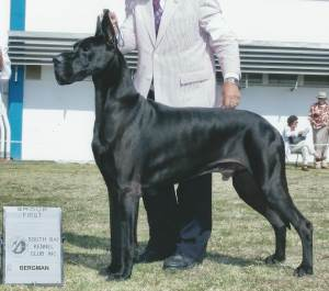 Group 1, Working GCH CH Naples Tlbrk Dana Sanroque Naika Ika Pono  Great Dane