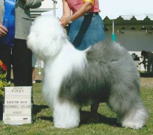 Group 1, Herding CH Blu Mtn Believe It Or Not  Old English Sheepdog
