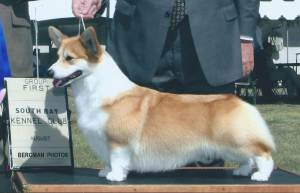 Group 1, Herding CH Coventry Vanity Fair  Pembroke Welsh Corgi