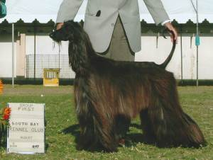 Group 1, Hound CH Thaon's Travertine  Afghan Hound