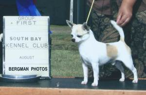 Group 1, Toy CH Dazzles Bad Tad For Bear Paw  Smooth Coat Chihuahua