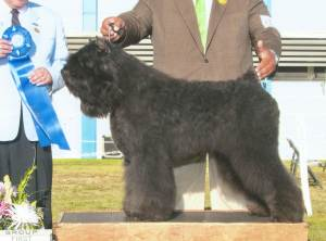 Group 1, Herding CH Westfalls Kele's Mica Of Paris Bouvier des Flandres