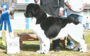 Group 1, Working GCH CH Pawsinn Threeponds Lancelot Newfoundland